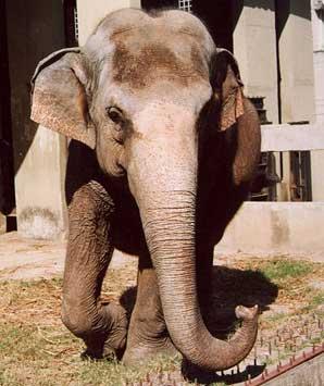 Elefanta Koala