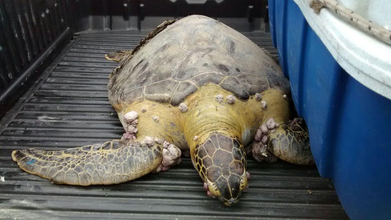 Guardas da Patrulha Ambiental resgatam tartarugas e pinguins na Zona Oeste e no Centro