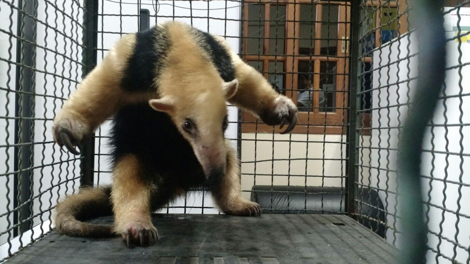 Guardas da Patrulha Ambiental resgatam tamanduá ferido em residência da Zona Oeste