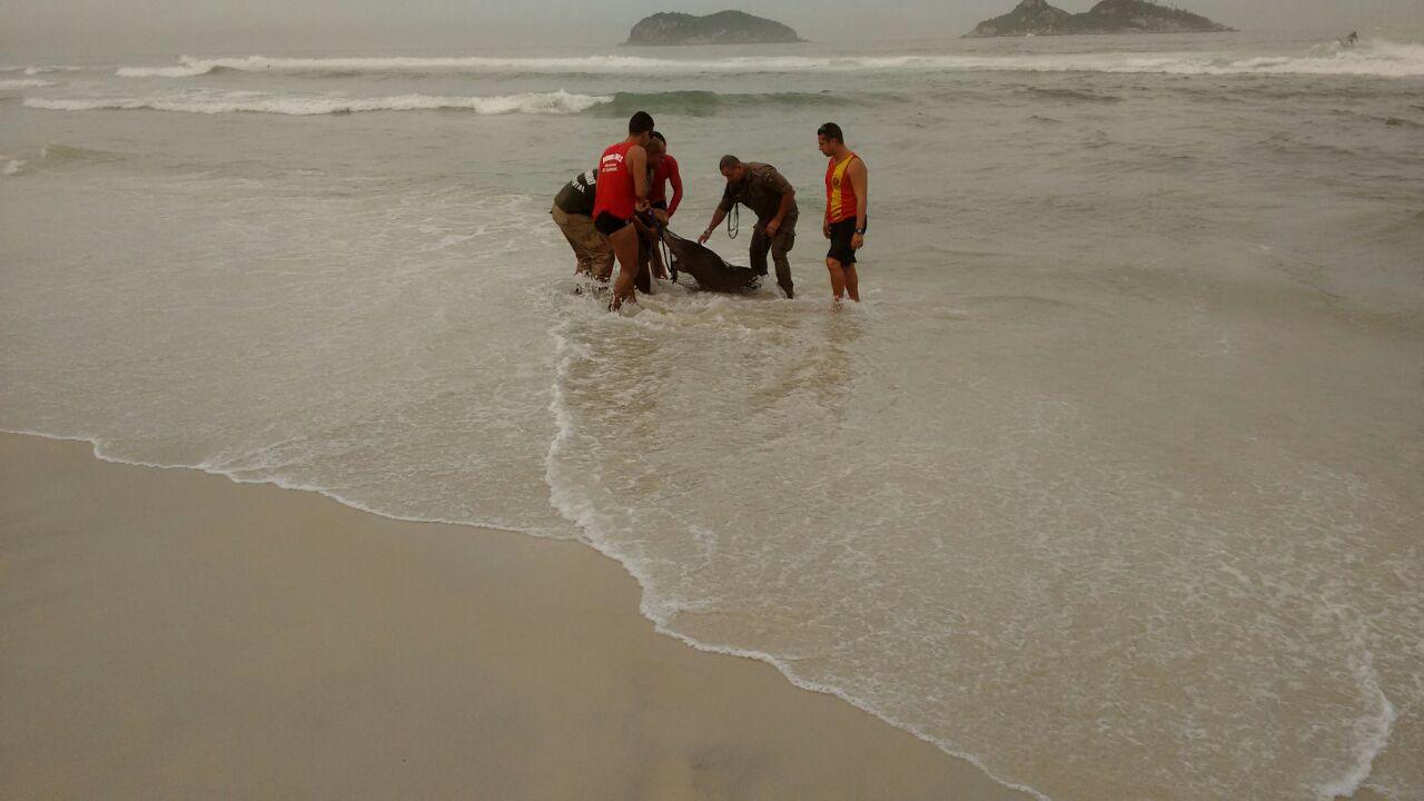Patrulha Ambiental resgata capivara na praia da  Barra da Tijuca