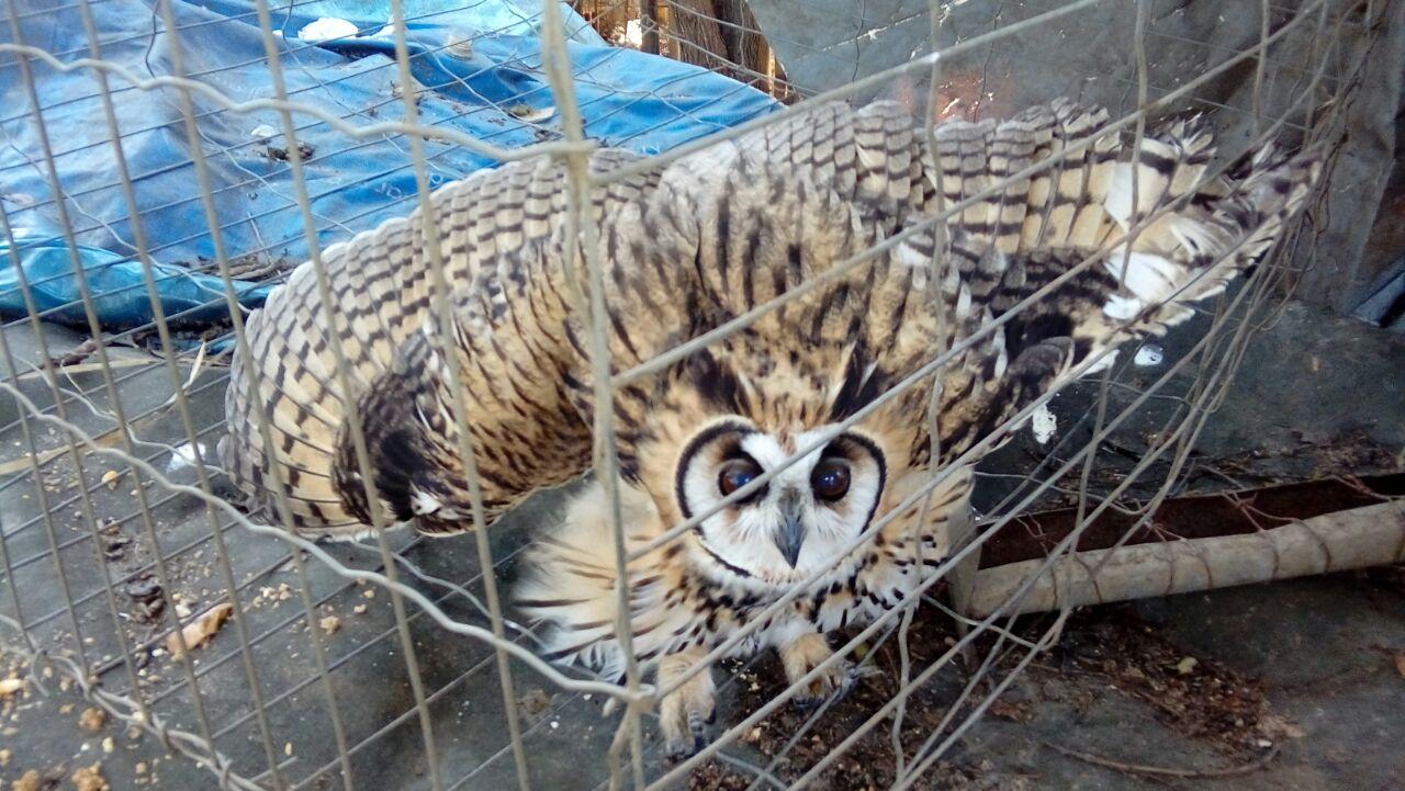 Patrulha Ambiental resgata coruja encontrada presa em linha de pipa