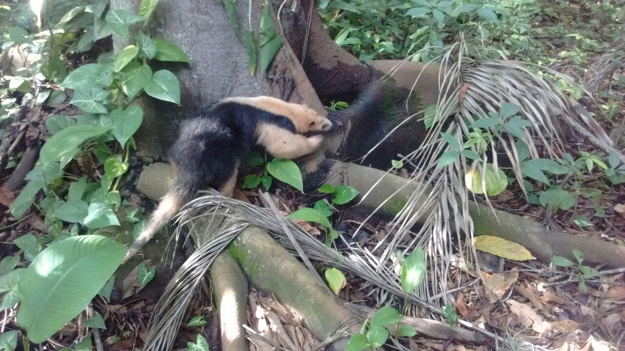 Patrulha Ambiental resgata tamanduá-mirim em residência na Zona Oeste