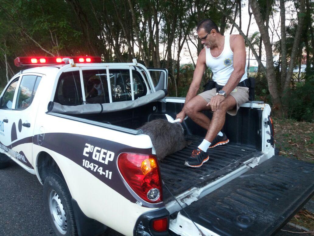 Guardas  municipais resgatam capivara gravemente ferida na Barra da Tijuca