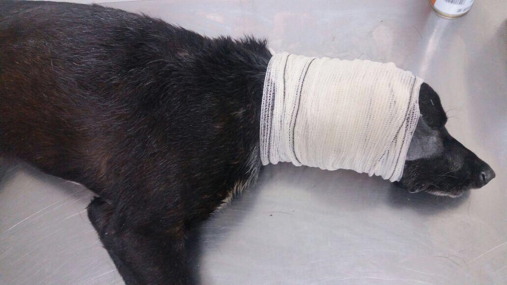 Cão é atendido no Posto Animal de Bangu e ganha uma família