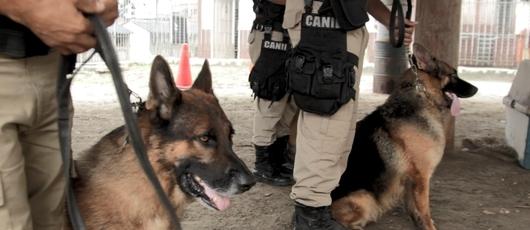 Cães da Guarda Municipal têm rotina diária de treinamentos